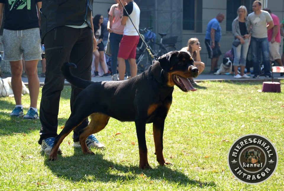Miereschhall Intracom Rottweiler Champion Female