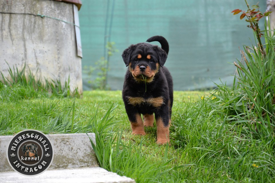 Miereschhall Intracom Rottweiler puppies